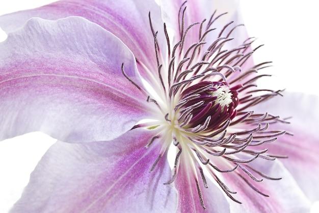 Colpo del primo piano di un bel fiore di giglio rosa peruviano