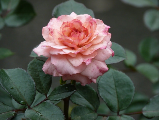 Closeup shot of a beautiful pink rose flower on a blurred surface