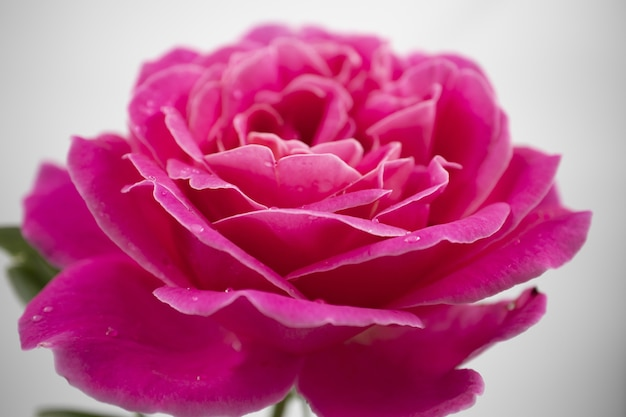 Closeup shot of a beautiful pink rose with water drops isolated on a white background