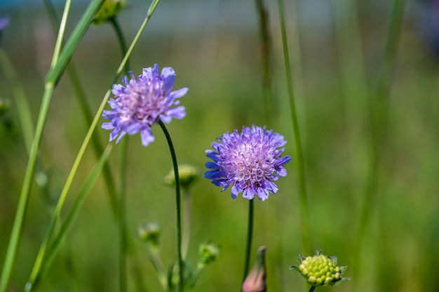 Closeup shot of a beautiful purple pincushion flower