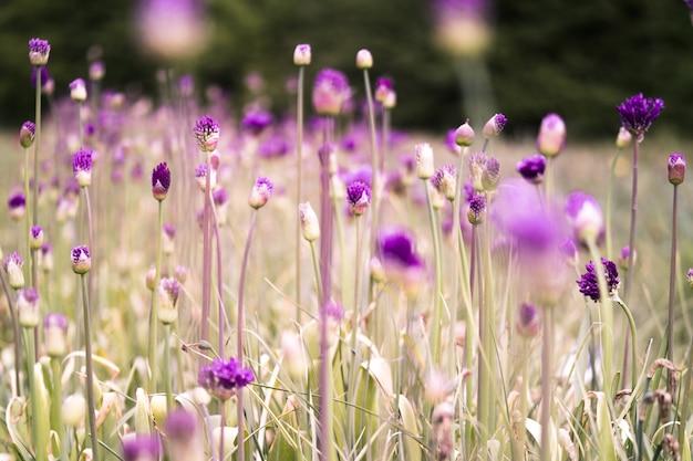 Primo piano di bellissimi fiori di cardo viola a stella in un campo