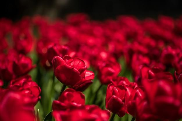 Colpo del primo piano di bei tulipani rossi che crescono nel campo
