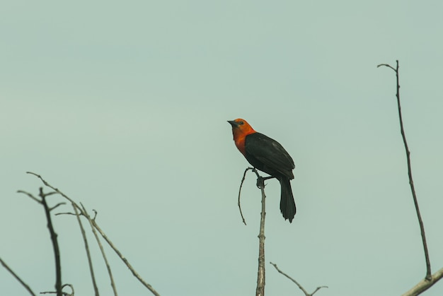 Closeup shot of a beautiful red-winged blackbird sitting on a wooden stick