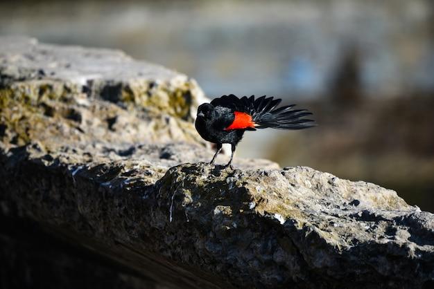 Colpo del primo piano di un bellissimo merlo dalle ali rosse in piedi sulla roccia