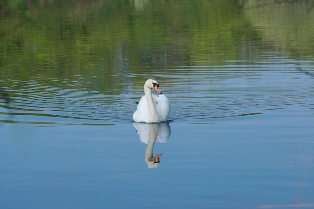Colpo del primo piano di un bellissimo cigno in un lago