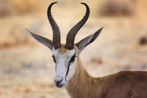 Closeup shot of a beautiful thompson's gazelle