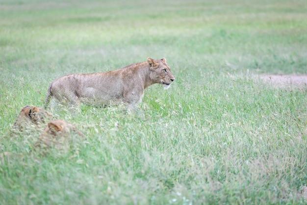 Colpo del primo piano di una bella tigre che corre nell'erba verde