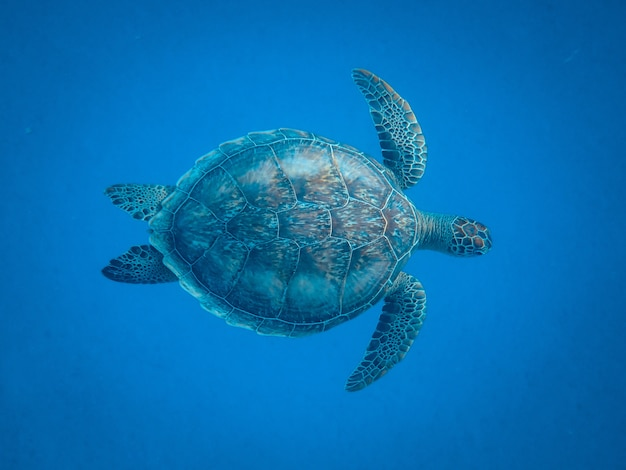 Closeup shot of a beautiful turtle swimming under the sea