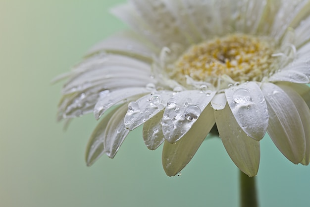 Closeup shot of a beautiful white daisy flower covered with dewdrops