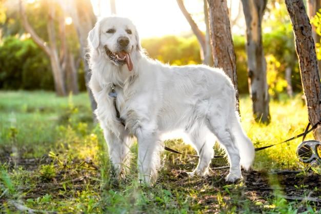Colpo del primo piano di un bellissimo cane bianco in piedi nel campo soleggiato