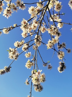Closeup shot of beautiful white flowers on almond trees and a blue sky