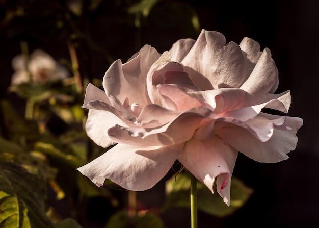 Colpo del primo piano di una bella rosa bianca sotto la luce del sole