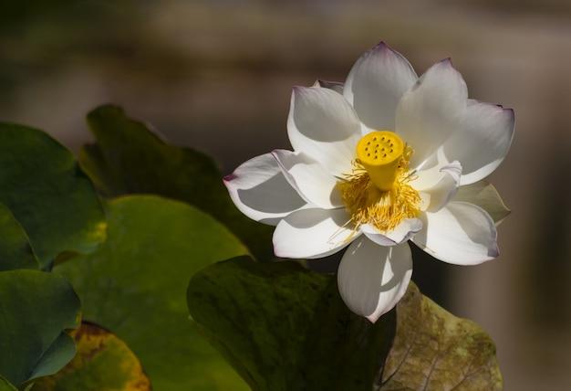 Closeup shot of a beautiful white sacred lotus