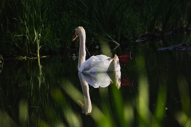 Closeup shot of a beautiful white swan on a pond