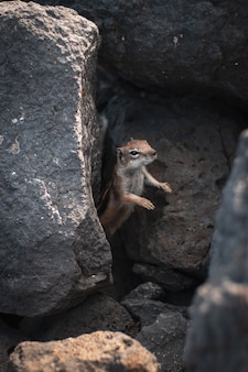 Closeup shot of a beautiful wild squirrel sticking its head out rocks in a forest