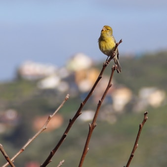 Colpo del primo piano di bello canarino giallo che si siede su una filiale