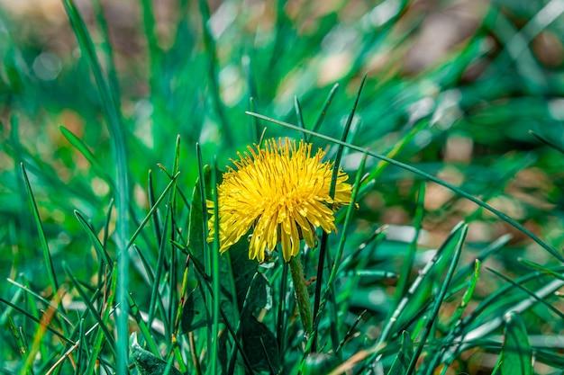Colpo del primo piano di un bel fiore giallo del dente di leone in un campo
