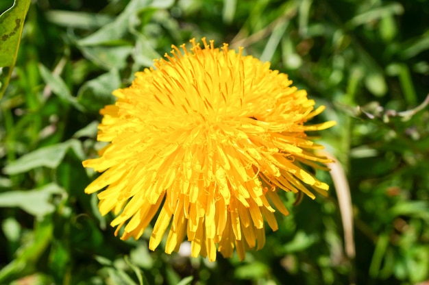 Closeup shot of beautiful yellow dandelion flowers