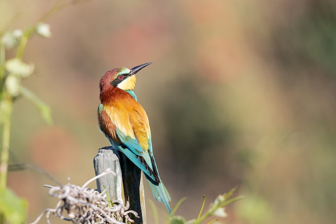 Closeup shot of a bee-eater with colorful feathers