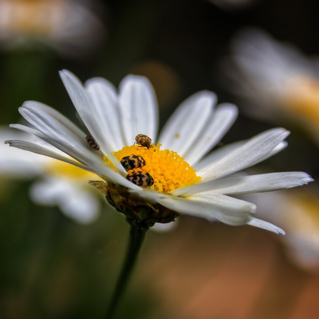 Closeup shot of bees on a blooming chamomile flower