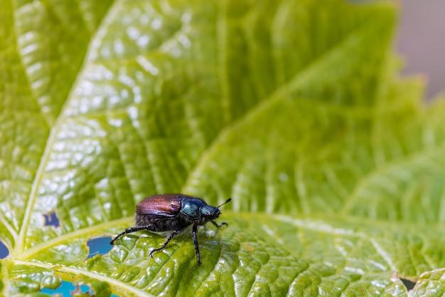 Colpo del primo piano di uno scarabeo sulla foglia verde