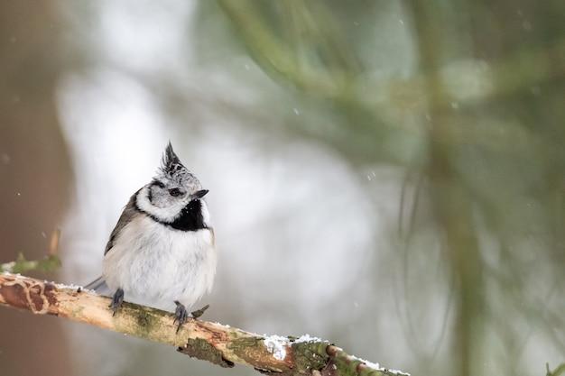 Colpo del primo piano di uno scricciolo bewicks uccello appollaiato su un albero