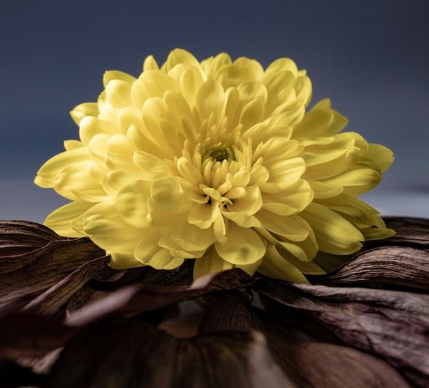 Colpo del primo piano di un fiore giallo grande e bello su una superficie con foglie secche