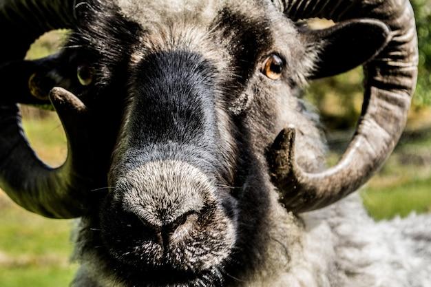 Primo piano di una pecora bighorn sotto la luce del sole