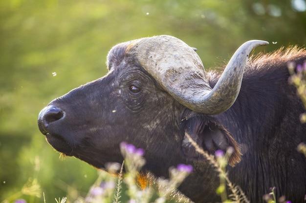 Closeup shot of a black african buffalo in nakuru safari in kenya