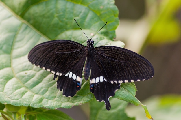 Closeup shot of a black butterfly on a green plant