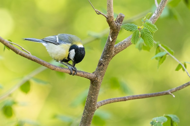 Closeup shot of a black-capped chickadee on the tree branch with greenery