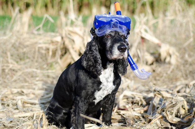 Closeup shot of a black cocker spaniel dog sitting down on a cornfield with a diving mask