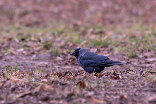 Colpo del primo piano di un corvo nero in piedi sul suolo