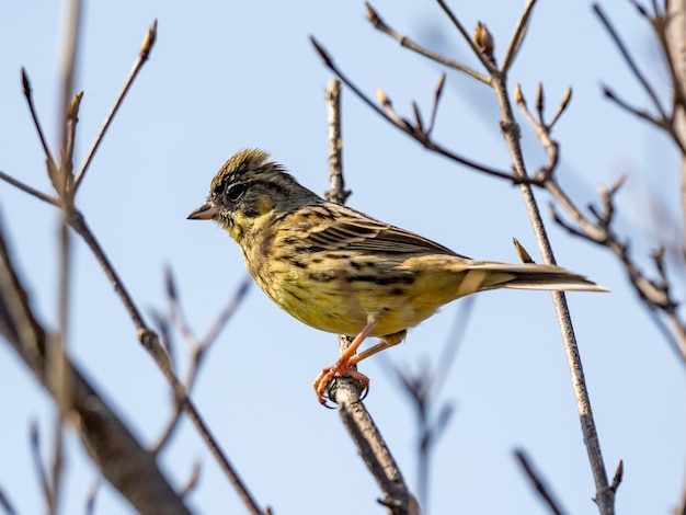 Closeup shot of a black-faced bunting on the tree against blue sky background