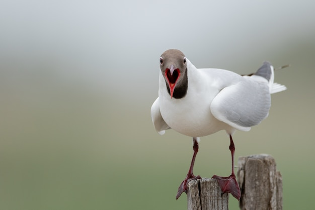 Closeup shot of a black-headed gull on the piece of wood