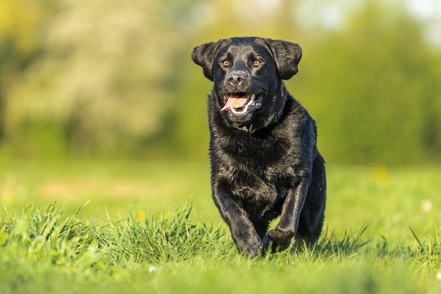 Closeup shot of a black labrador playing in the grass surrounded by greenery