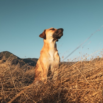 Closeup shot of black mouth cur dog in the field