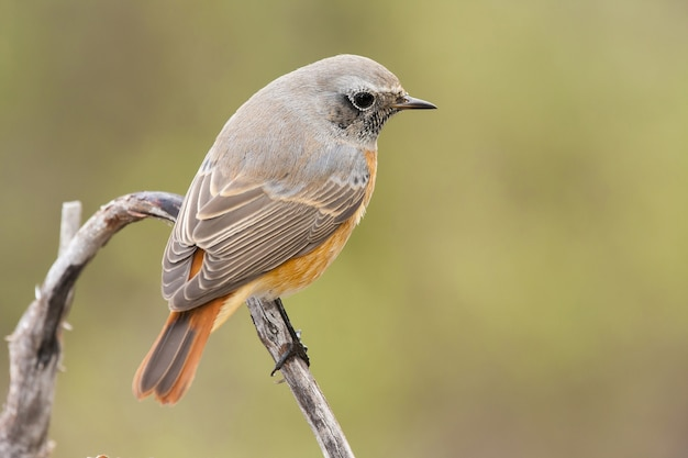 Closeup shot of a black redstart bird perched on a branch with a blurred background