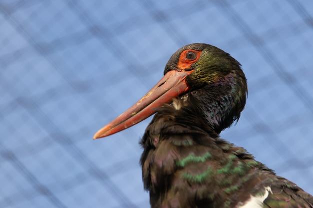 Closeup shot of black stork