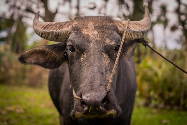 Closeup shot of a black water buffalo