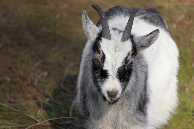 Colpo del primo piano di una capra in bianco e nero su un prato e un boccone d'erba in bocca