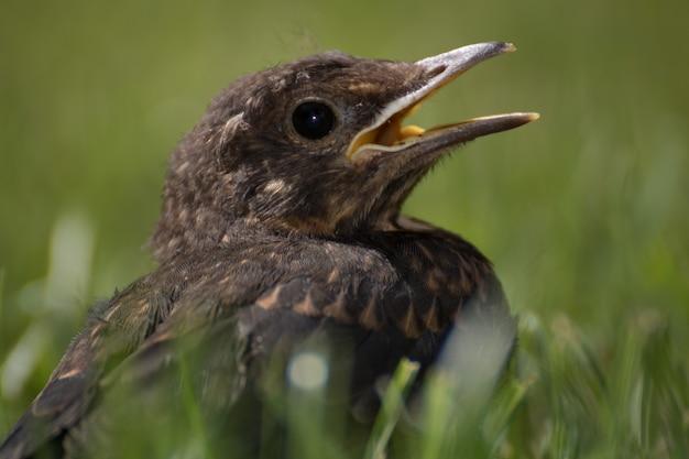 Colpo del primo piano di un merlo nell'erba con uno sfondo sfocato