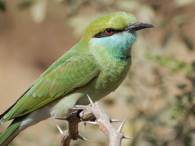 Closeup shot of a blue-cheeked bee-eater perched on a branch