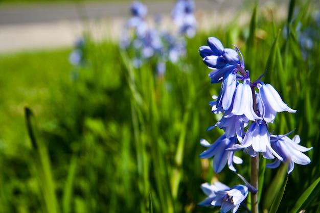 Closeup colpo di fiori blu che crescono in un campo verde