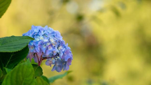 Closeup shot of blue hydrangeas with a blurry background