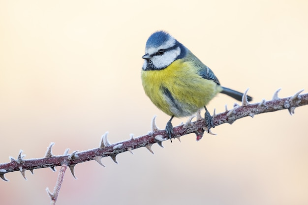 Closeup shot of a blue tit cyanistes caeruleus perched on a branch