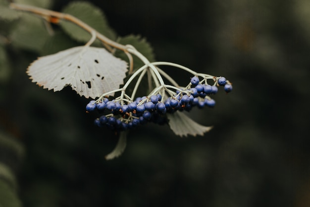 Closeup shot of blueberries on a branch of a tree in a forest on a blurred background