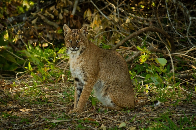 Closeup shot of a bobcat surrounded by trees and leaves