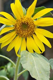 Colpo del primo piano di un girasole giallo brillante
