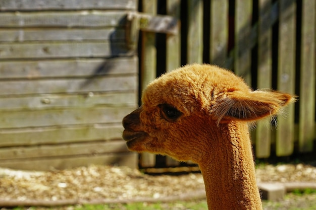 Colpo del primo piano di un'alpaca marrone in un terreno coltivabile